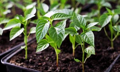 a zöldpaprika tulajdonságai a has vékonyítására
