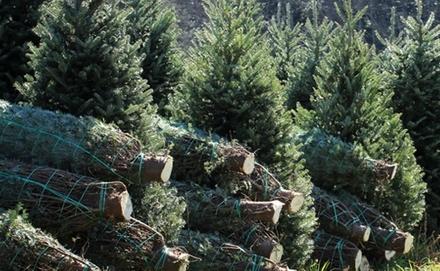 Drágább lesz a karácsonyfa