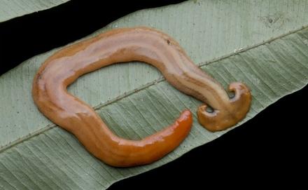 A kalapácsfejű laposféreg bemutatása