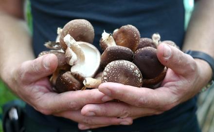 Házilag is termeszthetünk shiitake gombát