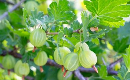 Szakértői tanácsok a gyümölcsbokrok telepítéséhez