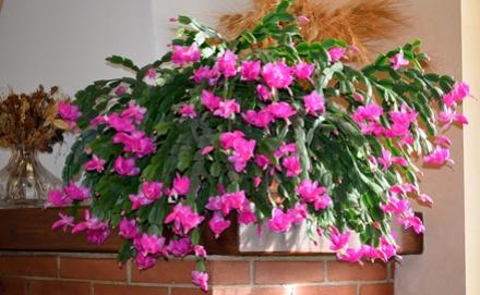 Karácsonyi kaktusz nevelése, karácsonyi kaktusz gondozása, a karácsonyi kaktusz bemutatása