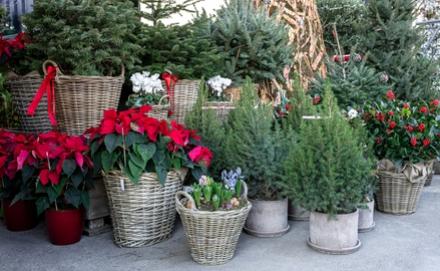 Karácsonyi növények