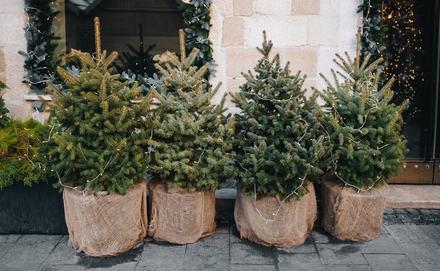 Ezt kell tudnod, ha élő karácsonyfa mellett döntesz!