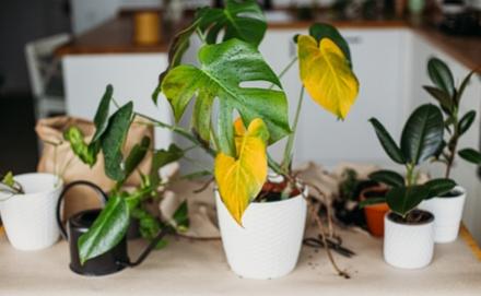 Sárgul a szobanövény levele – Mi az oka, mit tehetünk? Szakértőnk segít!