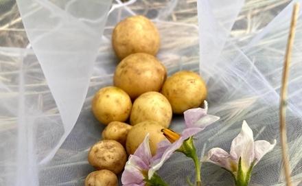 Legyen bő termésű burgonyánk, mutatok öt remek módszert, amik segíteni fognak!