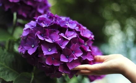 Mindenki kertjében ott a helye ennek a csodának! – A hortenzia metszése, gondozása