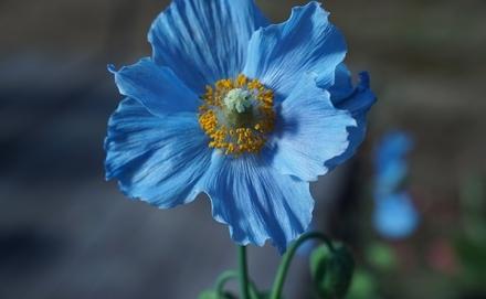 A világ legszebb kék virágai