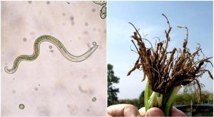 a genitális szemölcsök kezelése az intim területen parazita tabletta emberben