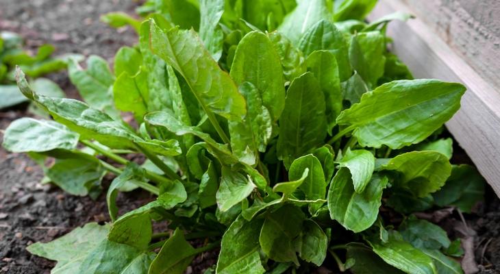 Hogyan termesztünk viaszbegoniát