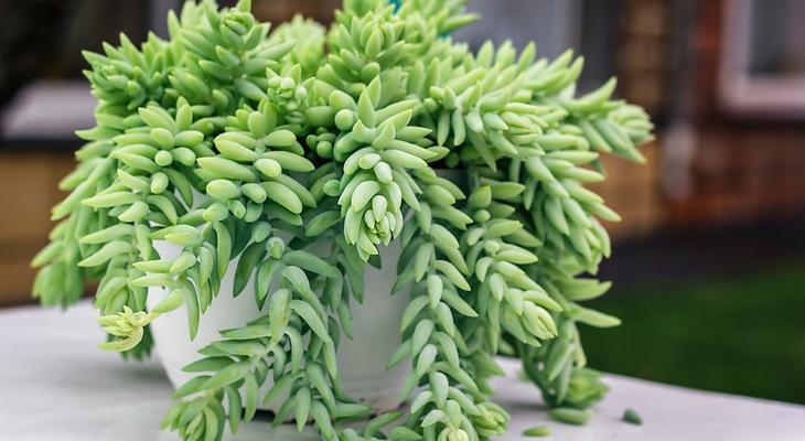 A legjobb pozsgás növények a csillagjegyedhez