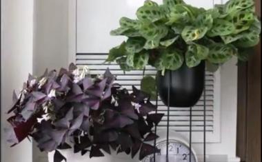 A táncoló növények