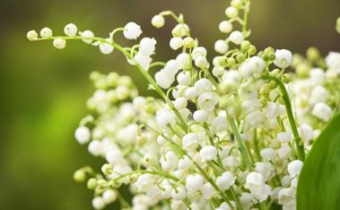 A gyöngyvirág bemutatása, tudj meg mindent a gyöngyvirágról