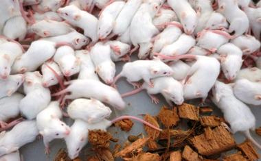 Védekezzünk az egerek ellen eredményesen