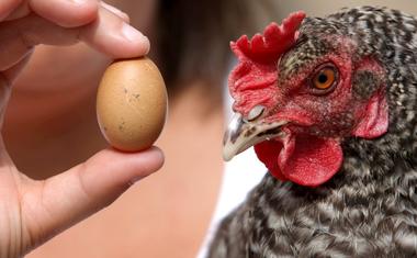 Melyik volt előbb, tyúk vagy a tojás?