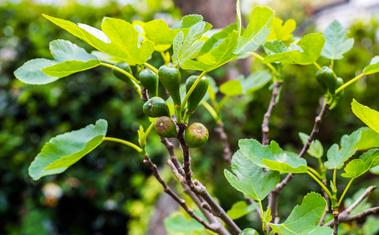 A fügefa sikeres átteleltetése – Hasznos tanácsok a fügefa teleltetéséhez